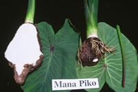 Manapiko