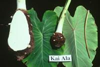 Kai Ala