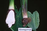 Akuugawai