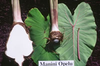 Manini-opelu