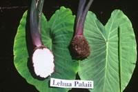 Lehua Palaii