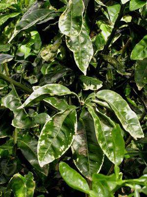 Citrus Leaf Miner Photo Dr Scot Nelson