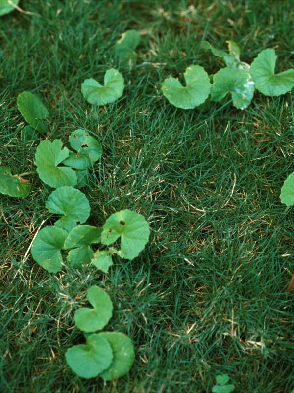 how to kill broadleaf weeds in grass