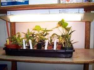 GROWING PLANTS INDOORS UNDER SUPPLEMENTAL LIGHTING--Kent