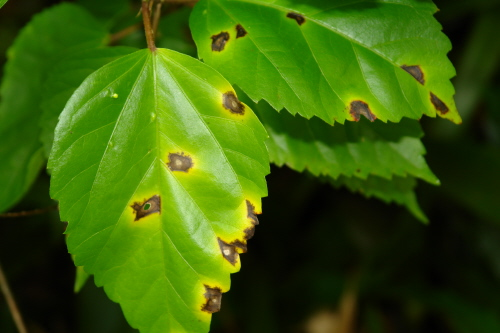 Pest Of The Month January 2012 Bacterial Leaf Spot Of Hibiscus