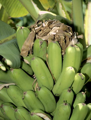 http://www.ctahr.hawaii.edu/nelsons/banana/Maia%20Kaualau%20rat%20nest%20Waipio.jpg