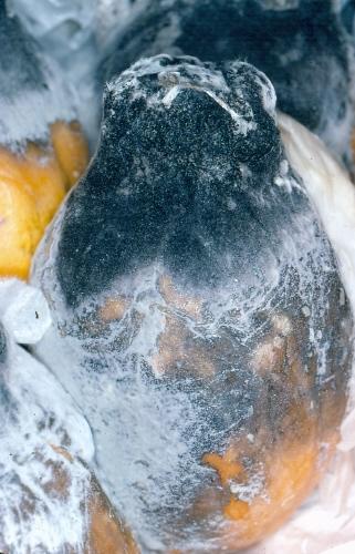 Botryodiplodia Theobromae