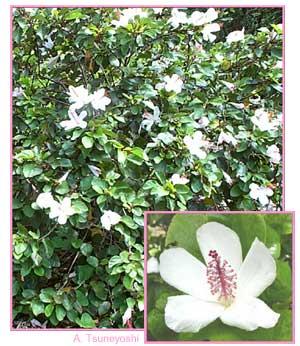 Bws native plants for water conservation white slightly fragrant flowers dark green leaves mesic to wet forest 300 800 m elevation salt tolerant mightylinksfo