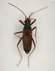 Wekiu-Bug---Male.png
