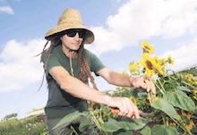 Daniel Carroll cuts sunflowers