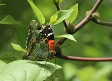 Pulelehua butterfly