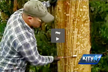 James Leary treating an albizia trunk with herbicide