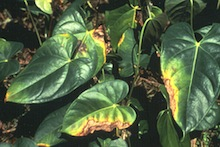 Anthurium with blight