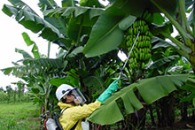 A worker treats a banana tree with pesticide