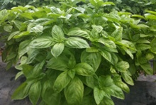 Basil growing