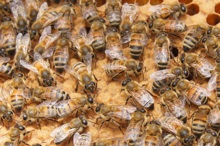 honeybees on honeycomb