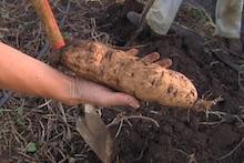 Okinawan sweetpotato in hand