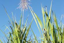 Sugarcane with tassel