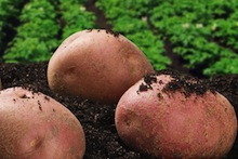 Image of potatoes from Biotech in Focus
