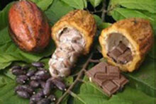 Cacao pods with chocolate