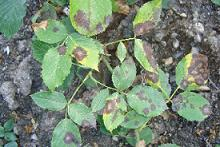 Rose leaves with black spot