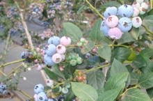 Blueberries in Hawai