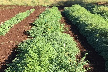 Chickpea field trial