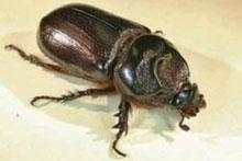 A coconut rhinoceros beetle