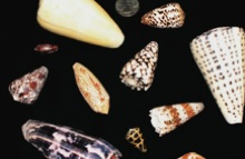 A variety of cone snails