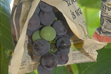 Image from Growing Grapes in Hawai'i