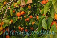 Hashimoto persimmons