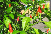 The Hawaiian chili pepper