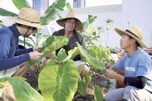 Andrew Dedrick, center, with Nate Ortiz, left, and Mitchell Loo among taro plants
