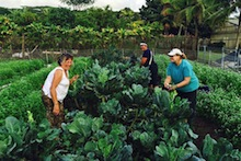 Harvesting kale from Kaua'i GoFarm plot