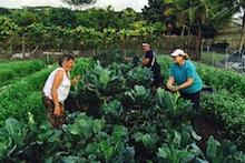 Harvesting kale from Kaua'i GoFarm plot