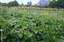 Cover crop lablab