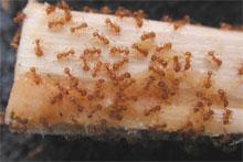 Little Fire Ants