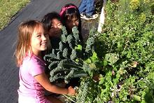 Noelani girls harvesting kale at Magoon Research and Teaching Facility