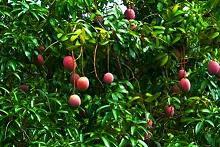 Mangoes on tree
