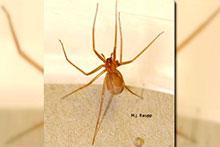 The Mediterranean recluse spider