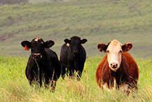 Cows on Moloka'i Ranch
