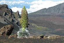 Silversword on Haleakala
