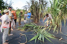 Sugarcane at research station