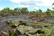Damaged taro fields after the June theft