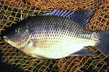 WikiCommons image of tilapia