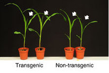 Transgenic and non-transgenic maize image from paper