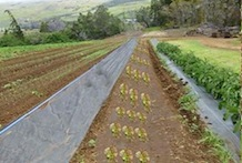 tropical cropping system