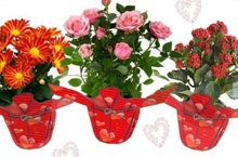 Flowering potted plants