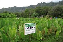 CTAHR staff learning about Waimanalo taro